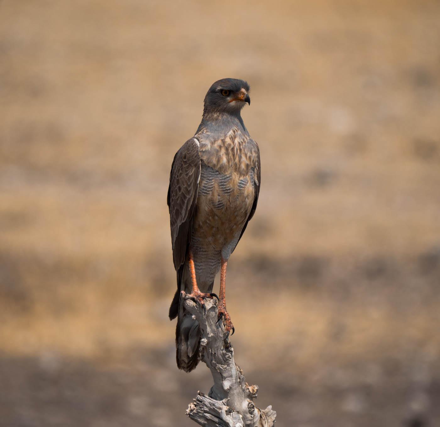 Pale Chanding Goshawk, Etosha Park, Namibia
