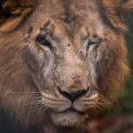 Lion taken with the Leica 100-400mm