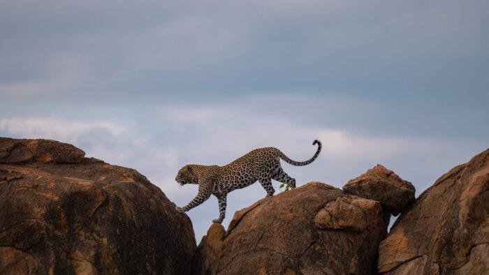 Leopard in Tsavo East, Kenya